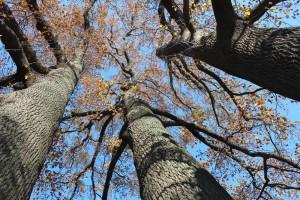 ユリの大木