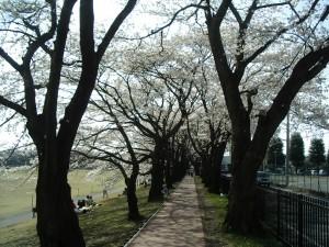 以前の桜並木