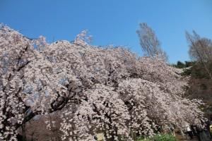 枝垂れ桜の滝