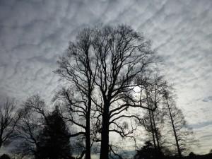 夕方のユリの木